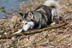 Ungt Siberian skrovligt spelar utanför arkivbilder