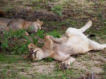Ungt skämtsamt kvinnligt lejon Royaltyfri Fotografi