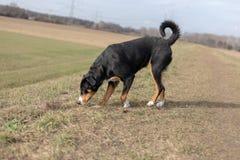 Ungt sniffa för jaga hund royaltyfria foton