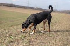 Ungt sniffa för jaga hund royaltyfri fotografi