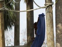 Ungt spela för orangutang Royaltyfria Foton