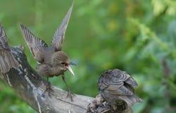 Ungt Starling Sturnus vulgaris sätta sig på ett träd med dess öppna näbb och vingar fördelade De unga fåglarna har slagits ove arkivbilder
