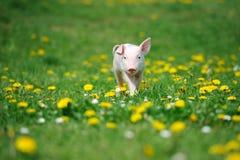 Ungt svin på ett grönt gräs royaltyfri foto