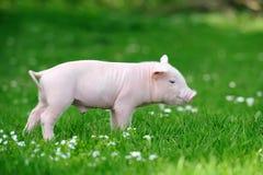Ungt svin på gräs arkivbild