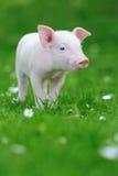 Ungt svin på gräs royaltyfri bild
