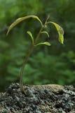 Ungt träd för mangoträd fotografering för bildbyråer