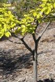 Ungt träd på våren Arkivfoto