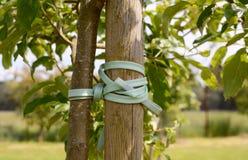 Ungt träd som binds för att riskera Arkivfoto