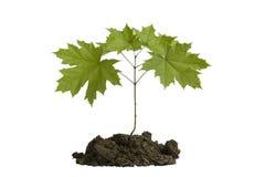 Ungt trädlönn Arkivfoto