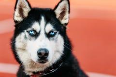Ungt utomhus- Husky Puppy Dog Sitting In rött golv royaltyfri fotografi