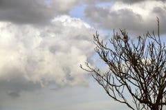 Ungt valnötträd mot himlen med mörka stora moln royaltyfri foto