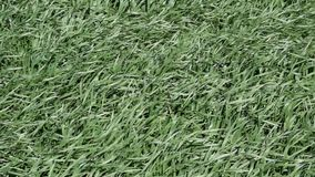 Ungt vete på fältet Svänga stjälk av vete i vinden Vind på fältet stock video