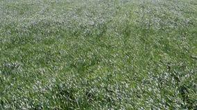 Ungt vete på fältet Svänga stjälk av vete i vinden Vind på fältet arkivfilmer