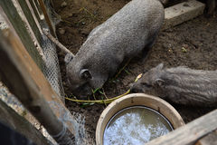 Ungt vietnamesiskt piggy på ladugårdgården Små svin matar på traditionell lantlig lantgårdgård Fotografering för Bildbyråer