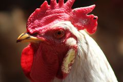 Ungtupp med vita fjädrar Royaltyfria Bilder