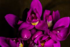 Unguiculata de Spathoglottis Foto de Stock