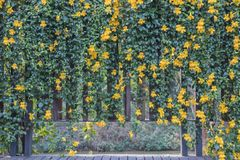 Unguis-cati L de Macfadyena de fleur de vigne de la griffe du chat a H gentry image stock