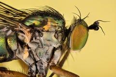 Ungulates de Dolichopus, Dolichopodidae, mosca imágenes de archivo libres de regalías