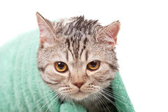 Unhappy cat. Unhappy wet cat in green towel Stock Images