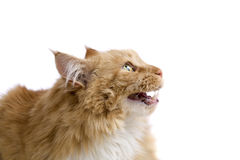 Unhappy cat Royalty Free Stock Images