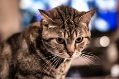 Unhappy Cat. I don`t think she was into modeling this time Stock Photo