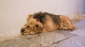 Unhappy dog sleeping in city street alone, devoted animal waiting for master. Stock footage stock video footage