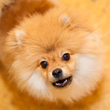 Unhappy dog Spitz. Wary looks into the camera. Royalty Free Stock Image