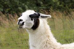 Unhappy Llama. Llama with an angry or unhappy expression Royalty Free Stock Images
