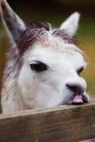 Unhappy Llama Stock Image