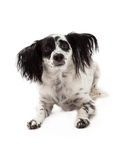 Unhappy Looking Papillon Mixed Breed Dog Royalty Free Stock Images