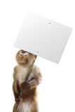 Unhappy monkey working. Monkey holding a sign with whatever you want Stock Photos