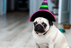 Unhappy pug. Sad birthday. Dog in a hat. Halloween dog. Halloween party. Halloween costume.