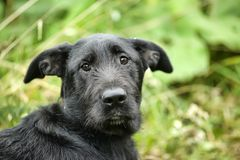 Unhappy sad guilty black dog. On a background of green grass royalty free stock photos