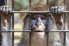 Unhappy sad monkey in a cage. At the zoo royalty free stock photo