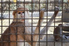 Unhappy sad monkey in a cage. At the zoo stock photo