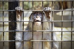 Unhappy sad monkey in a cage. At the zoo stock images