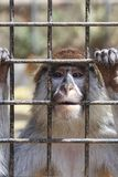 Unhappy sad monkey in a cage. At the zoo royalty free stock photography
