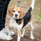 Unhappy Tricolor Beagle Standing in a Park Stock Photography