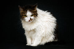 Unhappy wet cat with bright yellow eyes sitting on sofa. And looking at camera. Angry cat after bathing, black background royalty free stock photo