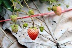 Unharvested新鲜的草莓在草莓农场 库存图片