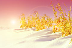 Unharvested corn on the winter field Stock Photo