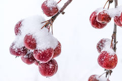Unharvested crop of many little apples on the branches of a tree covered with snow. Royalty Free Stock Photo