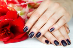 Unhas do close up com manicure escuro e as flores vermelhas Fotografia de Stock Royalty Free