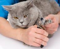 Unhas do pé do gato do corte do veterinário No fundo branco Imagens de Stock