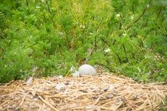 Unhatched ägg för stum svan i ett rede arkivfoto