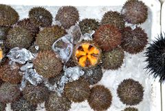 Uni roe or sea urchin at Hakodate Morning Market Royalty Free Stock Photos