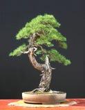 unia bonsai modrzew Zdjęcia Royalty Free