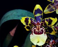 Unic close-up of orchid. Isolated oncidium orchid flower Royalty Free Stock Photos