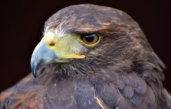 Unicinctus de Harris Hawk Parabuteo Photographie stock