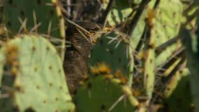Unicinctus de Hawk Parabuteo de Harris dans le désert Arizona, prédateur du sud-ouest de Sonora image stock